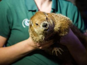 Kids get an up close view of live groundhogs during the Groundhog Day activities at the North Carolina Museum of Natural Sciences in Raleigh on February 2, 2015.