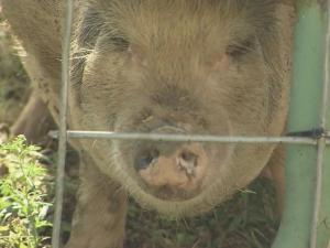 Sally the Pig