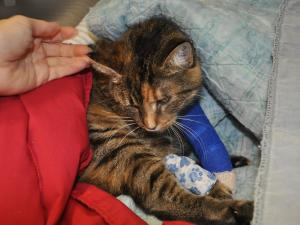 Two bullets were removed from a cat named Layna on Monday. She is expected to recover but the owner of the Goathouse no-kill shelter that Layna calls home wants to know who shot the animal and why.