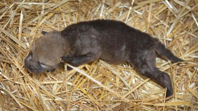 The North Carolina Zoo welcomed a new addition last week, after the birth of a red wolf pup.