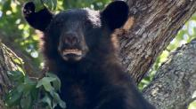 Residents of a Hope Mills neighborhood are becoming increasingly concerned about the safety of a black bear that took up residence in a tree this week and hasn't left.