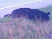 Black bear along I-40