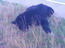A woman driving to work in Chapel Hill spotted what appeared to be a black bear lying on the side of the road on Thursday morning.