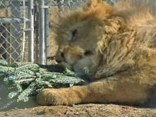 Lions, tigers make toys of Christmas trees