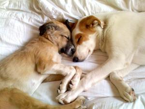 Puppies from Afghanistan, Jack and Emma, got introduced to their new home after a long journey being transported back to the U.S. by Dogpile.com. (Photo courtesy Dogpile.com)