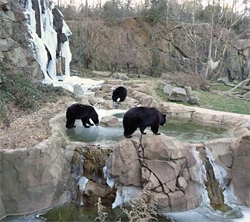 Black bears Gus, Virginia and Mimi explore ice below the falls at the Musem of Life and Science in Durham on Wednesday, Jan. 6, 2010. (Photo by Greg Dodge, Museum of Life and Science)