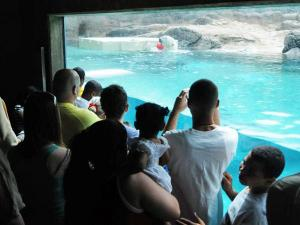 A crowd watches a polar bear play at the North Carolina Zoo during the Easter weekend. (Photo courtesy of North Carolina Zoo)