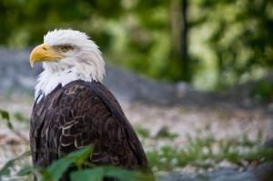 Wilma the bald eagle spent most of her life at Grandfather Mountain.