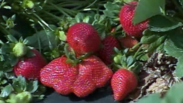 Strawberries left to rot in fields