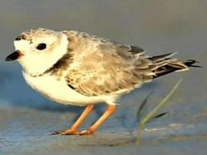 Piping plover chicks prompted the closure of nearly a mile of beach along the Oregon Inlet.