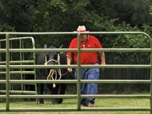 The steer was captured on Tuesday, June 3, 2008. (photo by Jessica Connor)