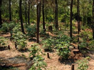 Authorities found marijuana plants in several wooded plots near Broadway on June 11, 2008. (Photo courtesy of Harnett County Sheriff's Office)