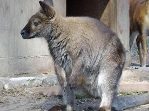 Sydney the Wallaby