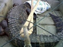 Wildlife officials captured an alligator on June 22, 2010, that had been swimming in Hope Mills Lake for two weeks.
