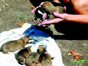 Six pit bull puppies were rescued from a Halifax County creek on Sept. 13, 2010. (Photo courtesy of Roanoke Rapids Daily Herald)