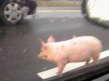 Pigs on I-40