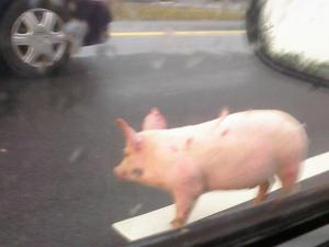 Five pigs fell out of a truck and got loose on Interstate 40, causing traffic congestion during the Wednesday morning commute, Durham police said. (Photo courtesy of Matt Spinak)