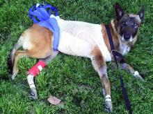Maverick, a K-9 with the Wake Forest Police Department, recovers from injuries suffered during a March 24, 2011, pursuit.