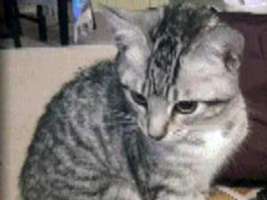 The gray tabby kitten, named Silverbell, was in Cat Room A at the Wake County Animal Center between 2 and 4:30 p.m. on Aug. 30 before being adopted. Anyone who may have touched the animal during that time is asked to call the county's communicable disease hotline at 919-250-4462.
