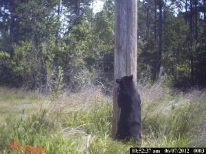 State troopers said they don't think the bear hit on U.S. Highway 301 early Saturday, July 28, 2012, was same one that has been seen in multiple locations around Wilson over the past couple days. That bear weighs around 200 to 250 pounds. (Photo courtesy of The Wilson Times)
