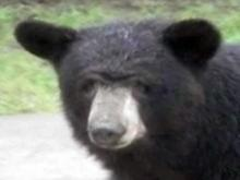 Bear big news in north Raleigh neighborhood