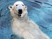 Wilhelm, NC Zoo polar bear