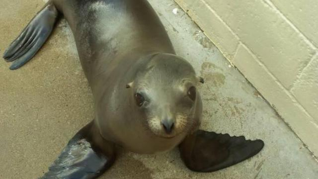 Meet Dyson, a young sea lion that has moved to the North Carolina Zoo.