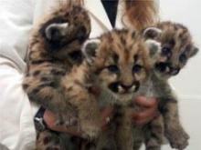 Three cougar kittens whose mother was killed by a hunter in Oregon are expected to arrive at the North Carolina Zoo on March 3, 2014. (Photo courtesy of Oregon Zoo)