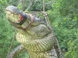 Gator stuffed and on display