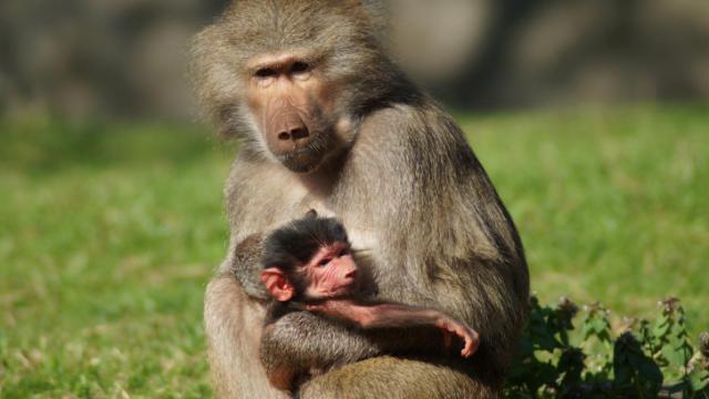 Tankara holds her baby at the North Carolina Zoo.
