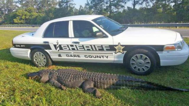 An 800-pound, 12-foot alligator was hit by a vehicle Sunday night in Dare County. (Photo courtesy WAVY)