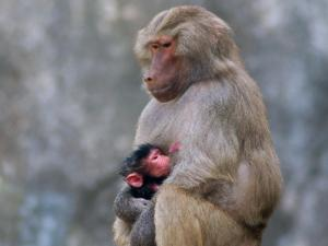 N.C. Zoo welcomes another baboon