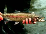 Diseased trout discovered in Watauga River