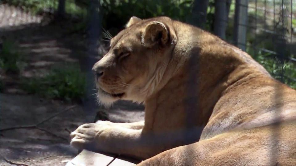 Exotic animals bill has sanctuary operators roaring :: WRAL.com