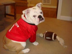 8 month old Ralph helps mom and dad pull for the Wolfpack!
