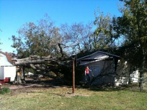a 100 year old farm house in Wendell.  Unfortunately it crushed an out building in last night's storm.    When our family moved in 5 years ago, the driveway and an old patio was crushing the base and roots of this tree.  We treated the tree and surrounding base of the tree and even built a fireplace/patio around it.  We had an tree specialist confirm that the tree is at least that old.  When the tree decided to fall it mercifully spared our house.  I guess what goes around comes around!  Attached are images of the before and after shots of the tree.
