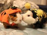 Halloween Guinea Pigs