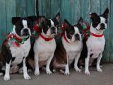 Merry Christmas from Nellie, Hazel, Tess and Hattie!