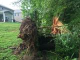 Tree downed by high winds