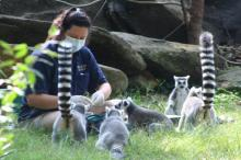 Ringtail lemurs enjoy feeding time at the North Carolina Zoo (Photo: Tony Rice)