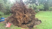Wind uprooted this tree in Raleigh