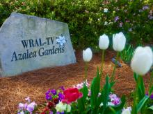Spring has sprung in the WRAL-TV Azalea Gardens.