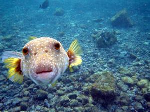 NASA Engineers looked to the Hawaiian Puffer Fish ('o'opu hue) for inspiration.  (Credit: Brocken Inaglory)