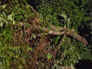 Downed tree on Beaver Creek Parkway in Roxboro. (Adam Owens/WRAL)