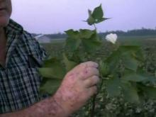 Wilson County farmer tallies crop damage