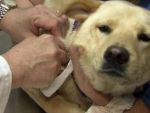 Some dogs at higher risk of catching flu