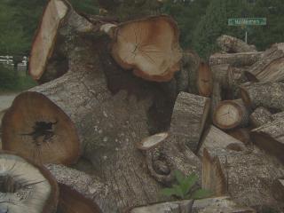 Cut tree pile