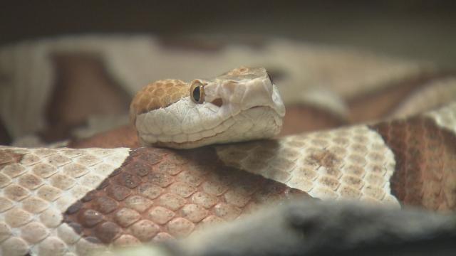 As number of copperhead bites rise, vet warns of danger to pets