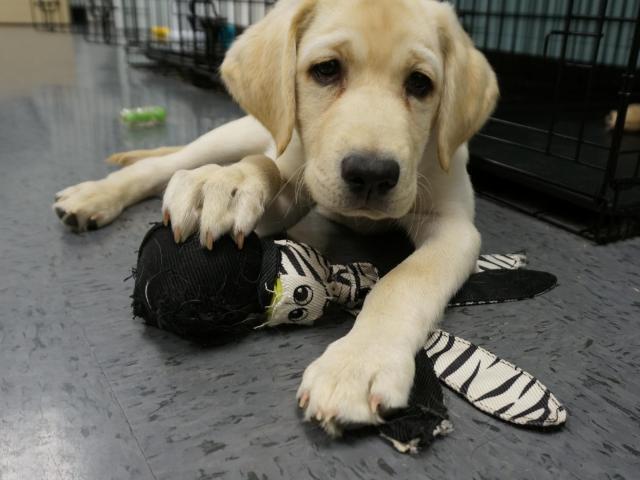 49df7324a3d1 Duke s  puppy kindergarten  helps identify