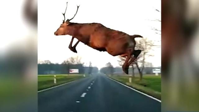 How drivers can avoid hitting deer